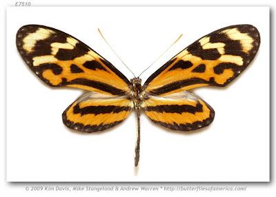 Mariposa fueguera Mechanitis lysimnia