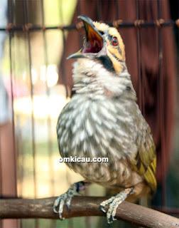 Burung Cucak Rowo -  Perawatan Burung Cucak Rowo Untuk Lomba dan Pasca Lomba - Penangkaran Burung Cucak Rowo