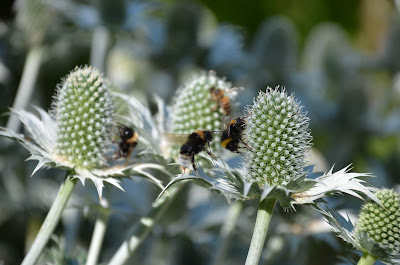 Bumble bees feeding from teasel plants