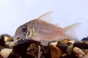 Jenis Ikan Corydoras concolor