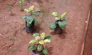Cara mengatasi tanaman terong daun kuning