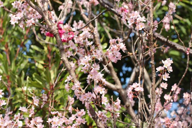 さくらんぼ公園 桜咲く