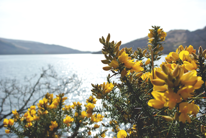Gorse by Loch Lomond