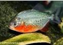 Cara Merawat Ikan Piranha Nattereri Di Akuarium