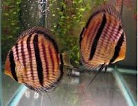 Ikan Hias Air Tawar Termahal Hybrid
