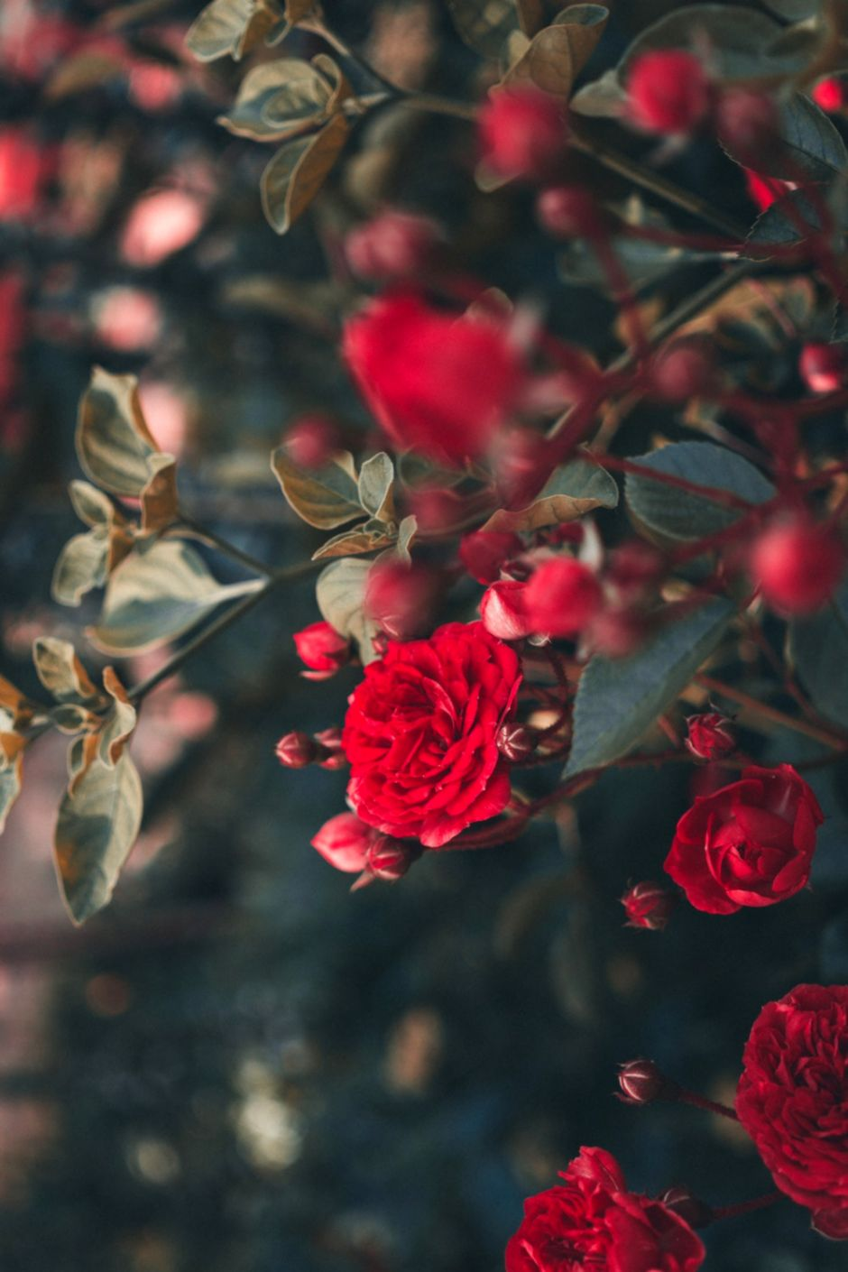 Flowers Rose Flower Backgrounds Hd Wallpapers Just Wallpapers