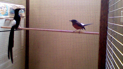 Cara Menjodohkan Burung Murai Batu