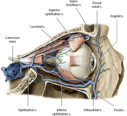 Верхняя и нижняя глазничные вены впадают в кавернозный синус