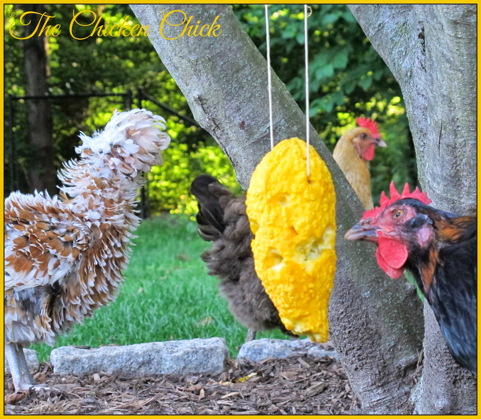 Summer Squash Piñata boredom buster for chickens