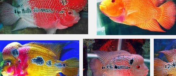 Tips Memilih serta Membeli Anakan Ikan LouHan Bagi Pemula