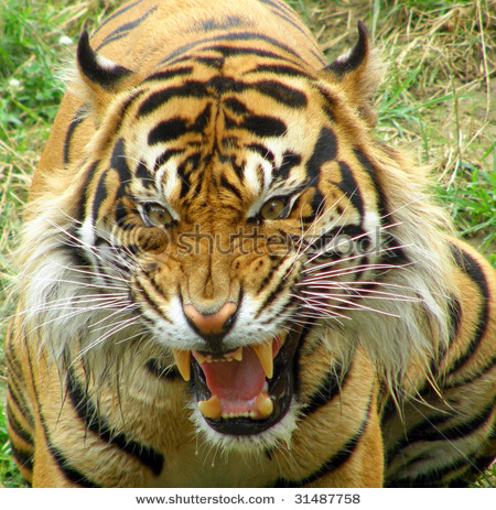angry tiger face wallpaper - photo #4