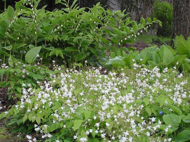 kwitnące epimedium Younga Niveum i kokoryczki wonnej