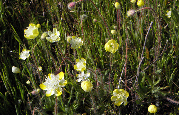 Cream cups, a buttercup-like plant with variegated white and yellow petals