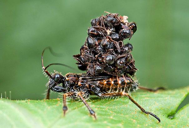 Serangga Ganas Yang Mengisap Mangsa Hingga Kering Dan Memakai Mayat Mereka