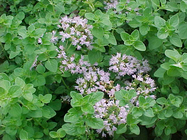 Temperate Climate Permaculture Permaculture Plant Oregano