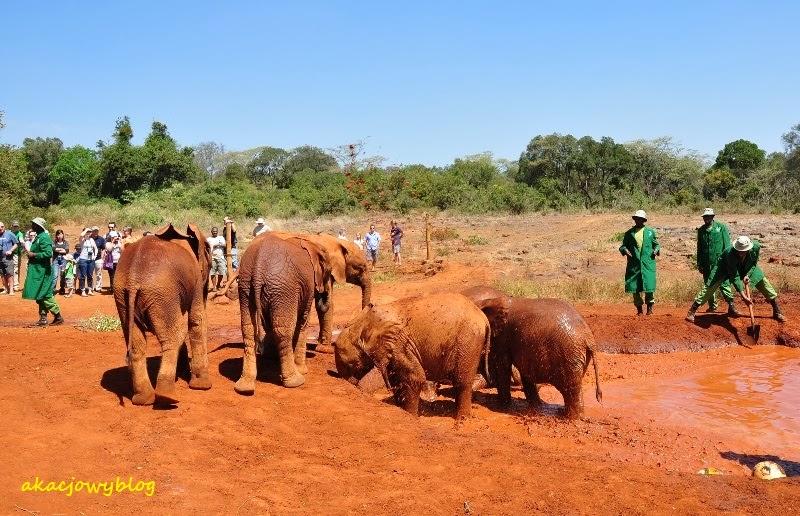 Sierociniec słoni  w okolicach Nairobi.