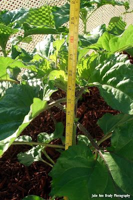 Chianti Hybrid Sunflower 26 inches tall at 48 days on May 5, 2018