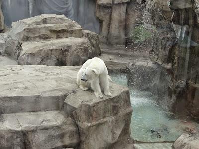 神戸市立王子動物園 ホッキョクグマ