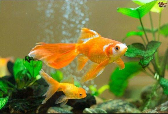 ciri ciri ikan koki hamil