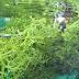 Manfaat Rumput Laut Selain Agar-agar