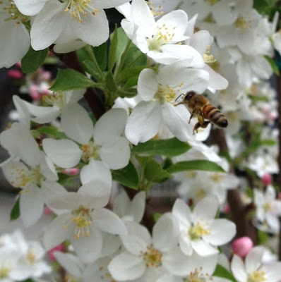 bee, beekeeping, crabapple, redbud tree, trees atlanta,