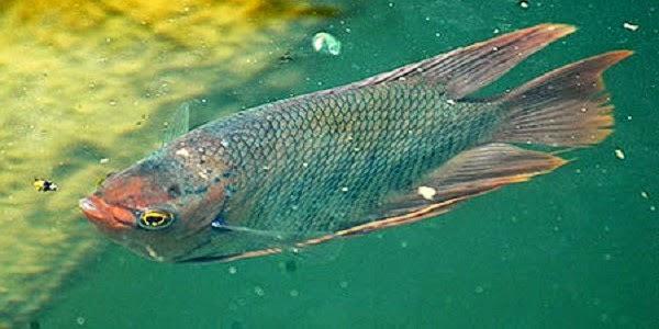 Teknik Pengendalian Hama dan Penyakit Pada Budidaya Ikan Gurame