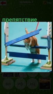 кролик на поводке преодолевает препятствие из поперечных досок