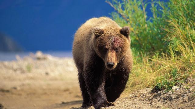 Foto van een grizzlybeer die net in het water is geweest