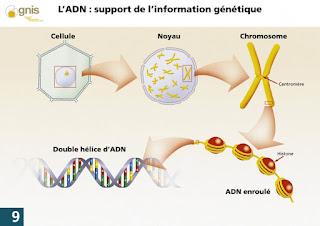 la différence entre l'ADN de Noyau et l'ADN d'un Mitochondrie