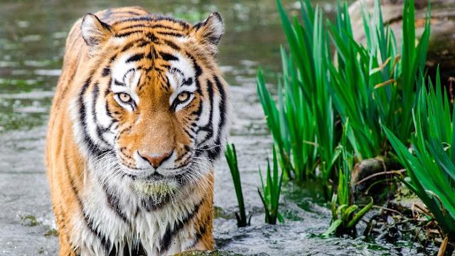 Tigre dans l'Eau - Fond d'Écran en HD
