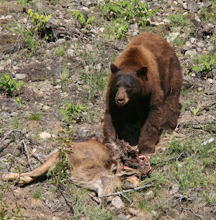 Brown Bear in Canada