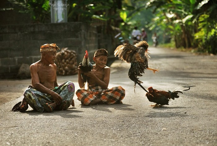 The Faces Of Indonesia: [BALINESE CULTURE] THE COCK FIGHTING