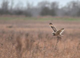 Short-eared owl, Burwell Fen