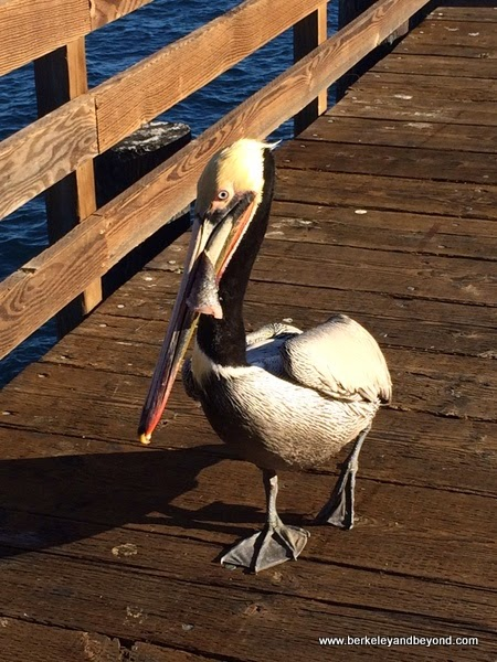 pelican with fish in mouth on Harford Pier in Avila Beach, California