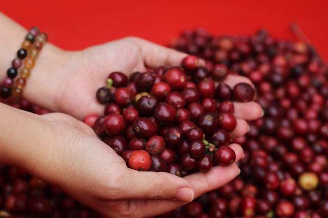 Lựa cà phê chuẩn chín từ cà phê chín