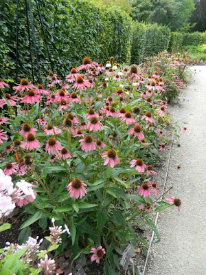 Purple coneflower ( Echinacea purpurea) fall blooms at the Toronto Botanical Garden by garden muses-not another Toronto gardening blog