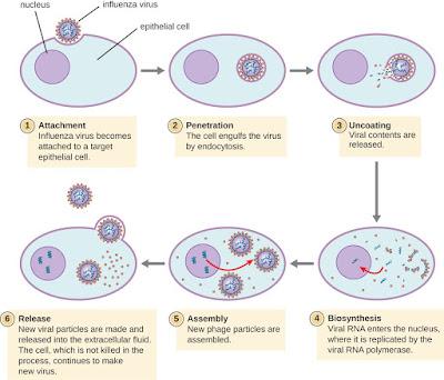Daur Hidup Virus Terlengkap Beserta Penjelasannya