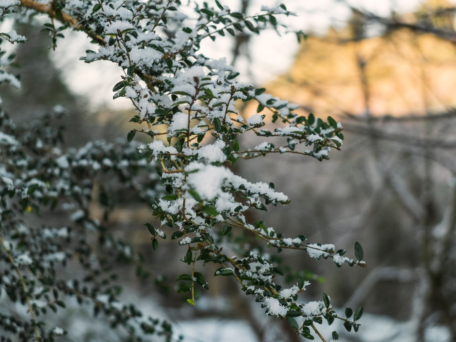Snow on branches with tiny green leaves on them.