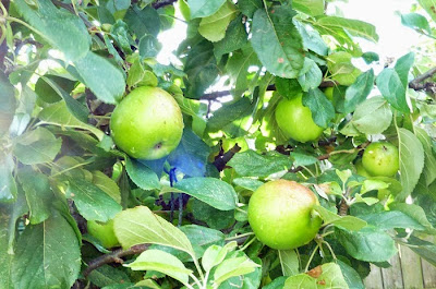 bramley-apples