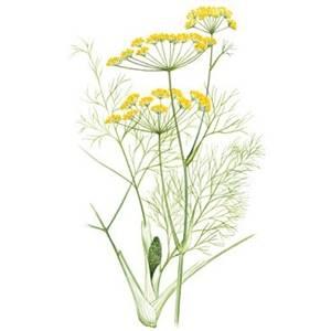 Erva-doce, nome científico: Pimpinella anisum