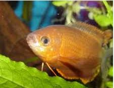 Gurami Thicklip, Ikan Hias Air Tawar Terindah