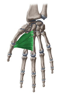 adductor pollicis muscle