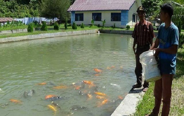 budidaya ikan mas di kolam beton