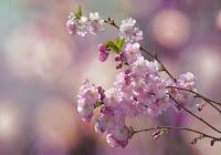 Fiore di ciliegio simbolo dell'azione sorprendente di Dio come risposta alla preghiera dell'uomo.