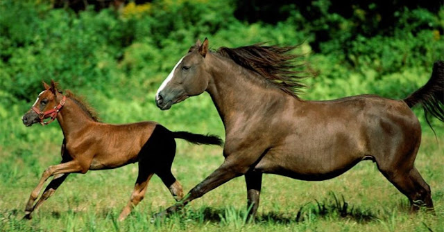 Caballo, animal herbivoro