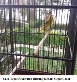 Cara Tepat Perawatan Burung Kenari Cepat Gacor
