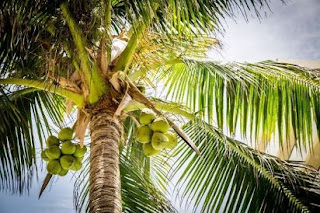 manfaat kelapa muda manfaat kelapa hijau kelapa gading kelapa merah