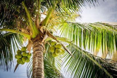 Segudang Manfaat Kelapa Mulai dari Pohon Air hingga Buahnya