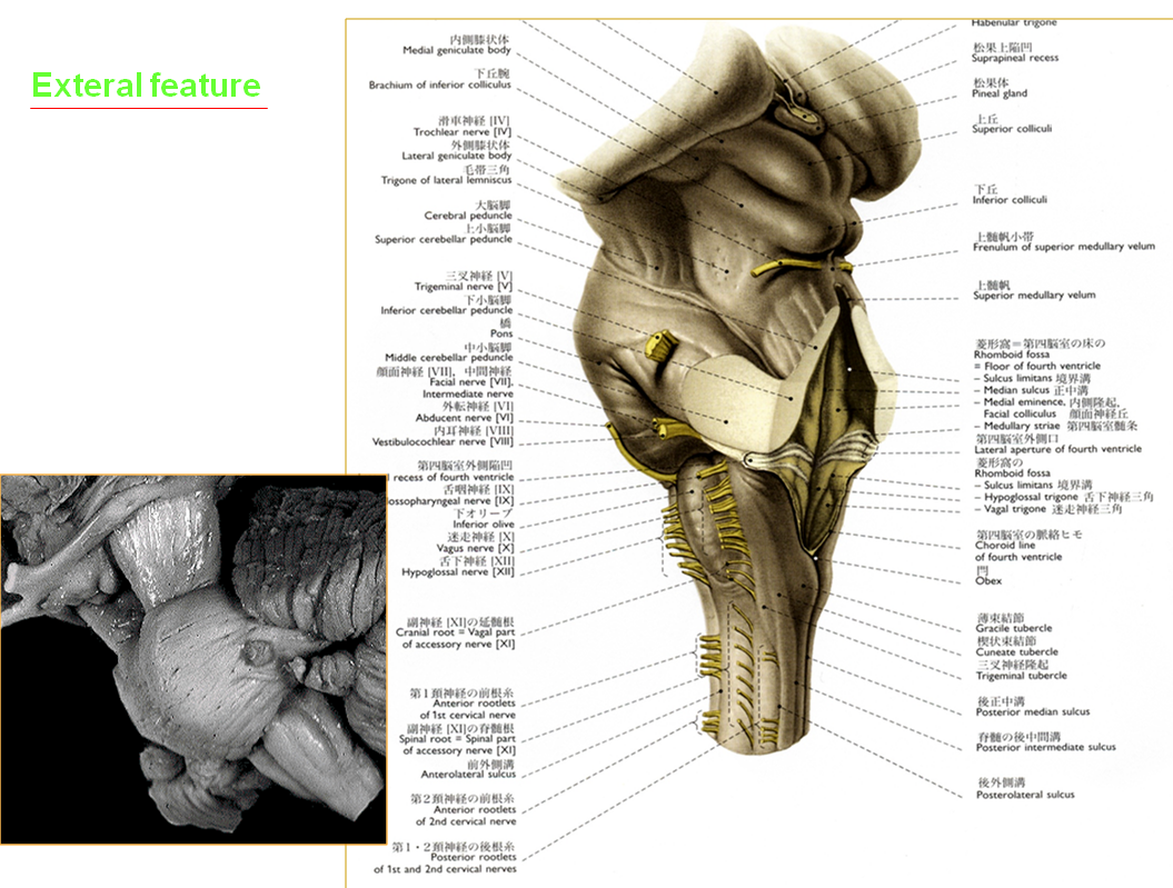 Internal Brain Diagram Pickleball Court Mbbs Medicine Humanity First Anatomy Of The Stem