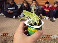planton lechuga trasplante huerto escolar en jardinera